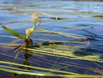 Floating Bur-Reed (Sparganium angustifolium)
